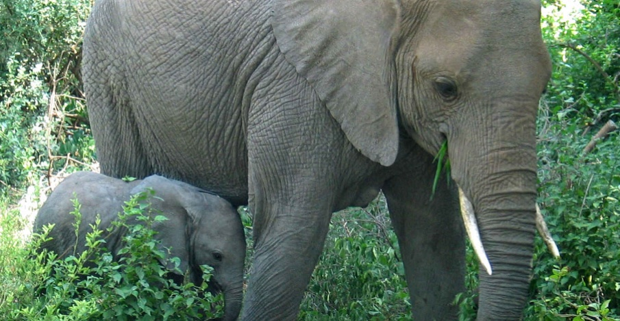 Elephant with the Calf